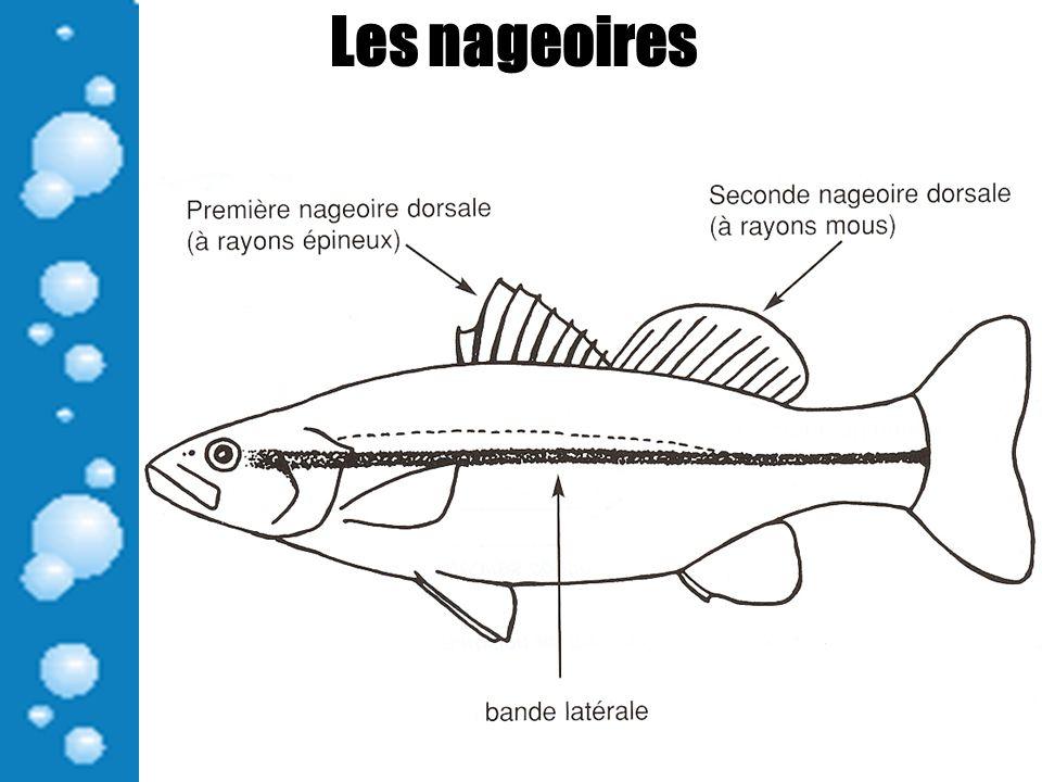 Les nageoires Les nageoires Nageoire pectorale: Permet de freiner et de changer de direction.