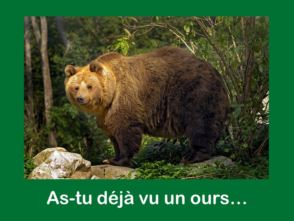 As-tu déjà vu un ours…