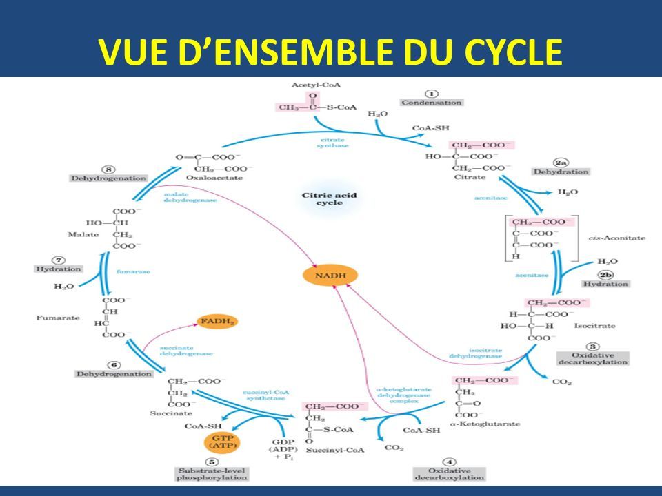 VUE D'ENSEMBLE DU CYCLE