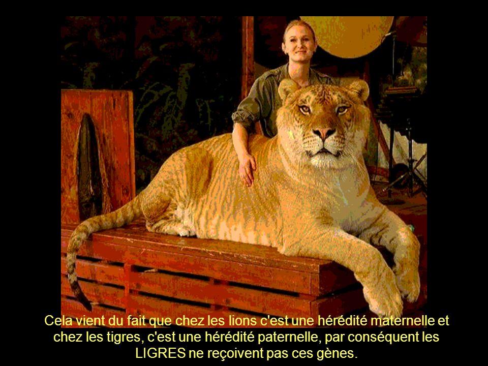 Cela vient du fait que chez les lions c est une hérédité maternelle et chez les tigres, c est une hérédité paternelle, par conséquent les LIGRES ne reçoivent pas ces gènes.