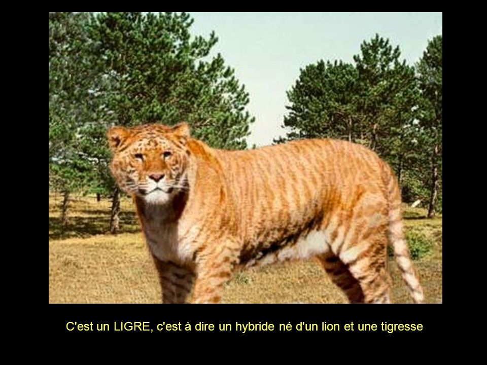 C est un LIGRE, c est à dire un hybride né d un lion et une tigresse