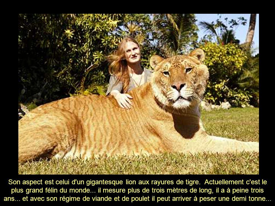 Son aspect est celui d un gigantesque lion aux rayures de tigre
