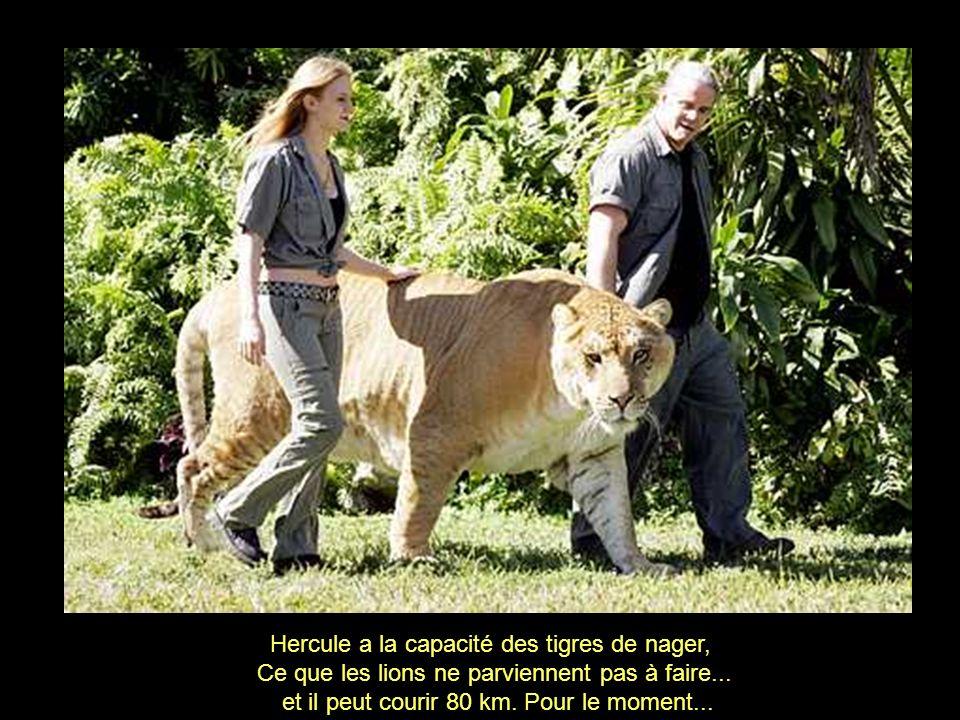Hercule a la capacité des tigres de nager,