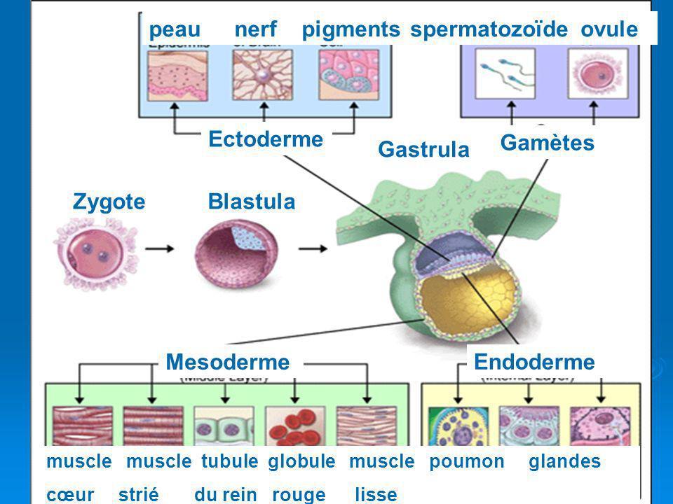 peau nerf pigments spermatozoïde ovule Ectoderme Gamètes Gastrula