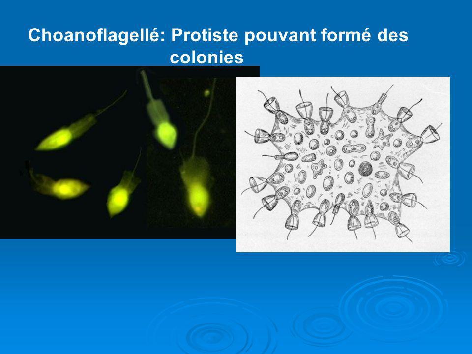Choanoflagellé: Protiste pouvant formé des colonies
