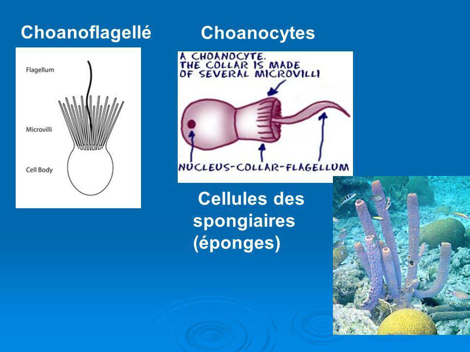 Choanoflagellé Choanocytes Cellules des spongiaires (éponges)