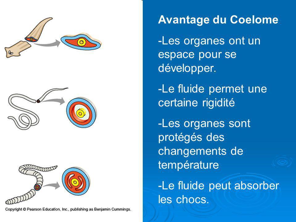 Avantage du Coelome -Les organes ont un espace pour se développer. -Le fluide permet une certaine rigidité.