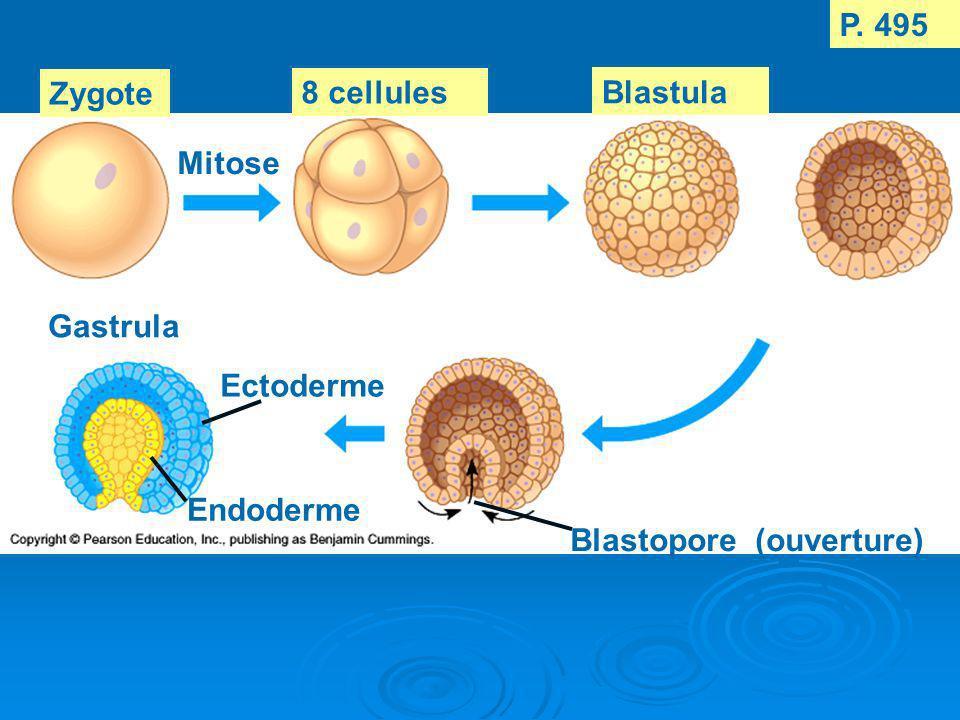 P. 495 Zygote 8 cellules Blastula Mitose Gastrula Ectoderme Endoderme Blastopore (ouverture)