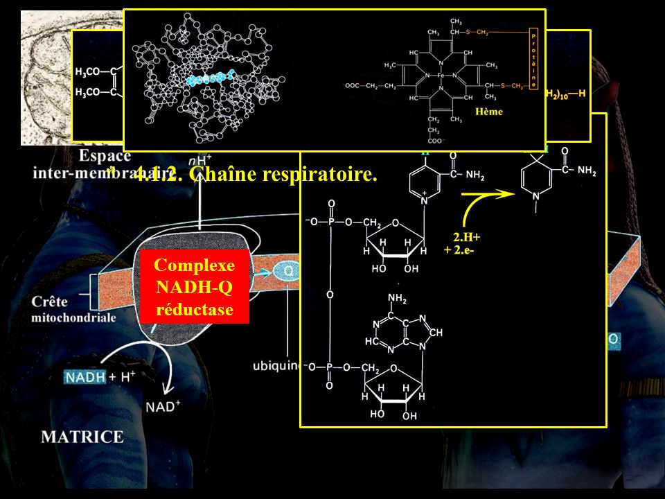 4.1.2 * 4.1.2. Chaîne respiratoire. Complexe cytc oxydase Complexe