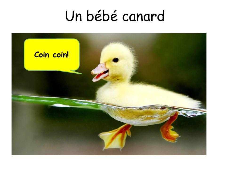 Un bébé canard Coin coin!