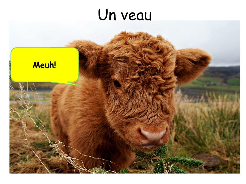 Un veau Meuh!