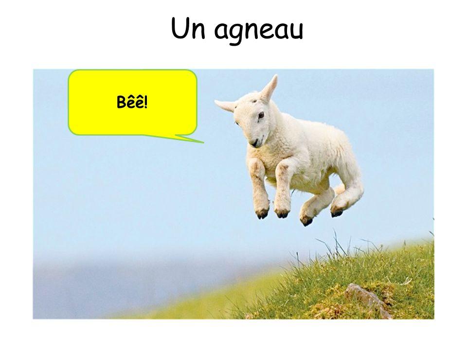 Un agneau Bêê!