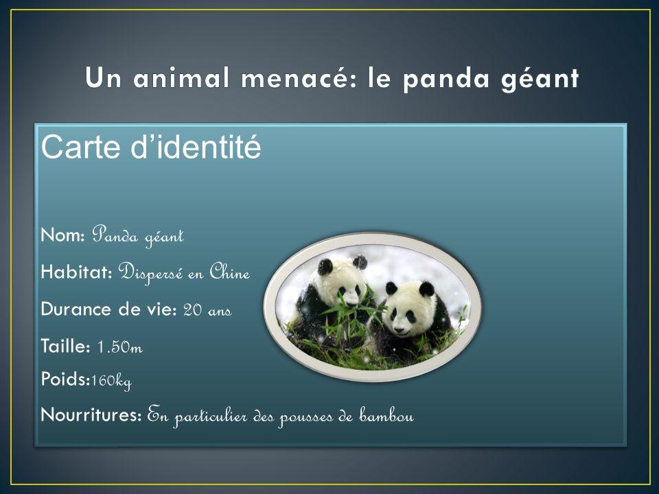 Un animal menacé: le panda géant