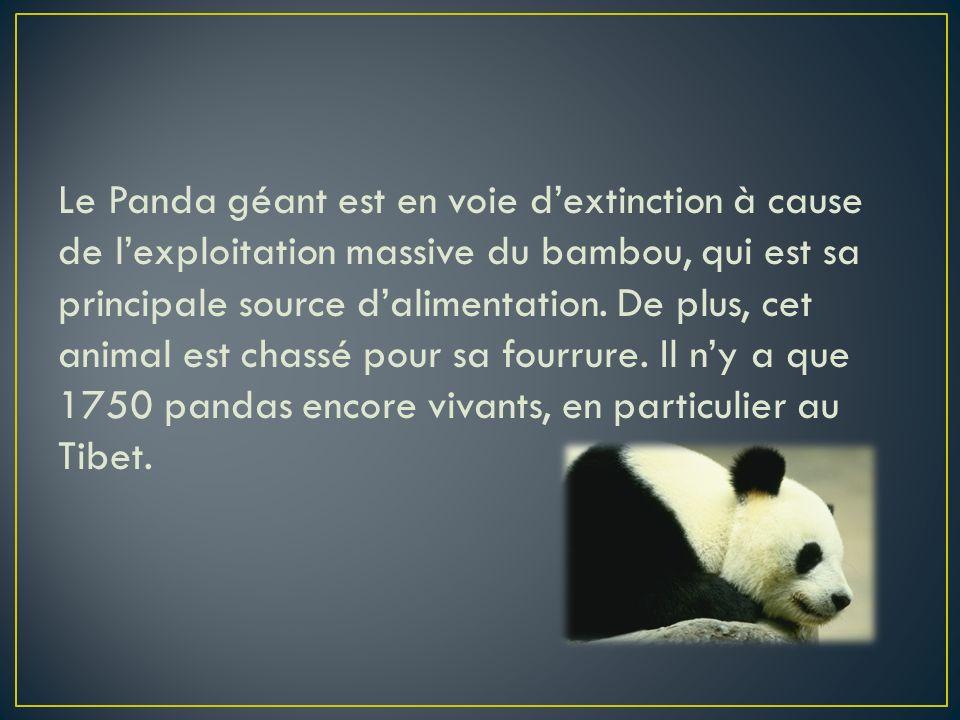 Le Panda géant est en voie d'extinction à cause de l'exploitation massive du bambou, qui est sa principale source d'alimentation.