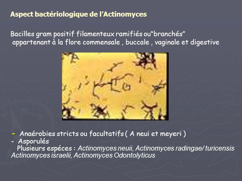 Aspect bactériologique de l'Actinomyces Bacilles gram positif filamenteux ramifiés ou branchés appartenant à la flore commensale , buccale , vaginale et digestive