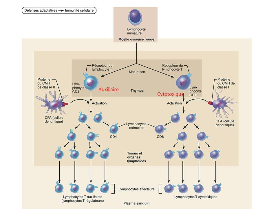 Auxiliaire Cytotoxique Cytotoxique