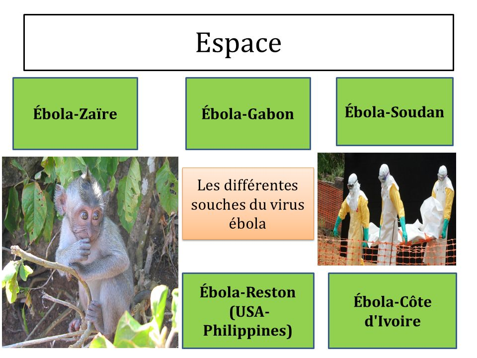 Les différentes souches du virus ébola