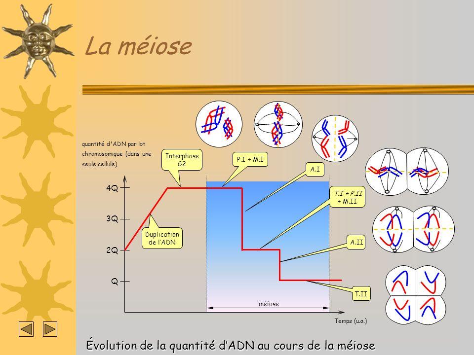 La méiose Évolution de la quantité d'ADN au cours de la méiose 4Q 3Q