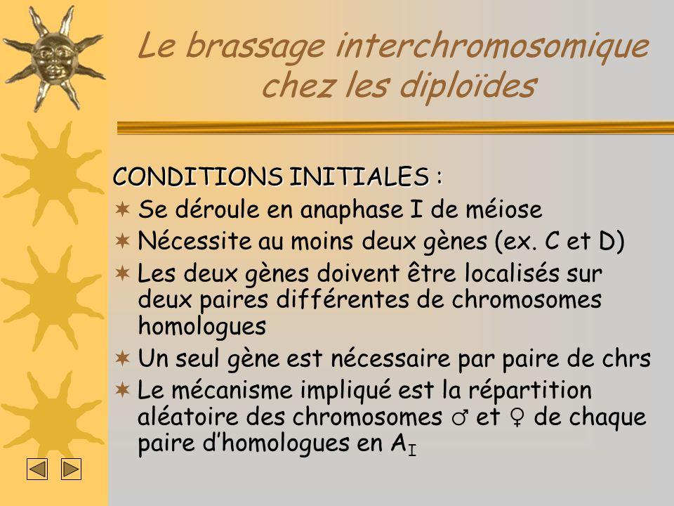 Le brassage interchromosomique chez les diploïdes