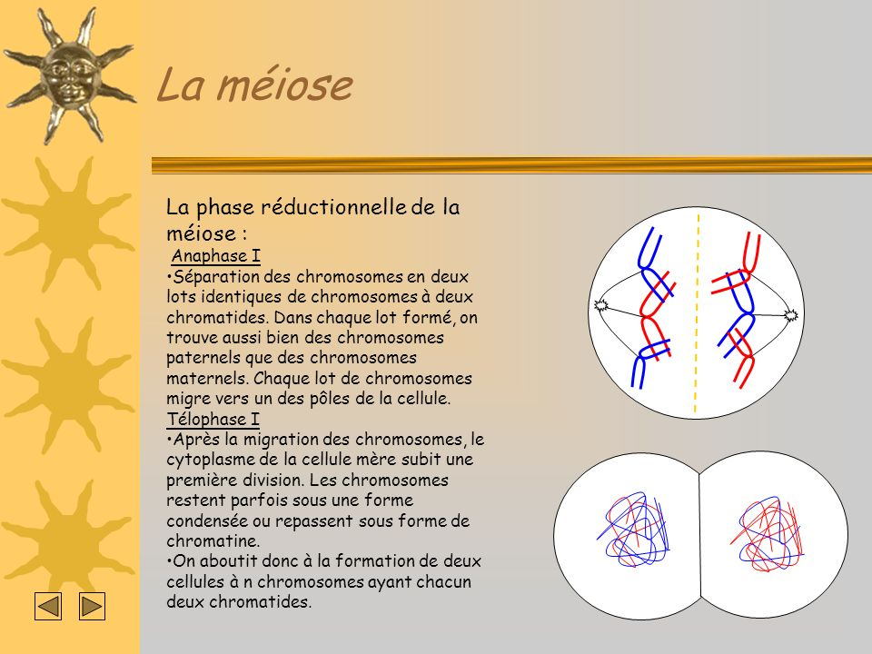 La méiose La phase réductionnelle de la méiose : Anaphase I
