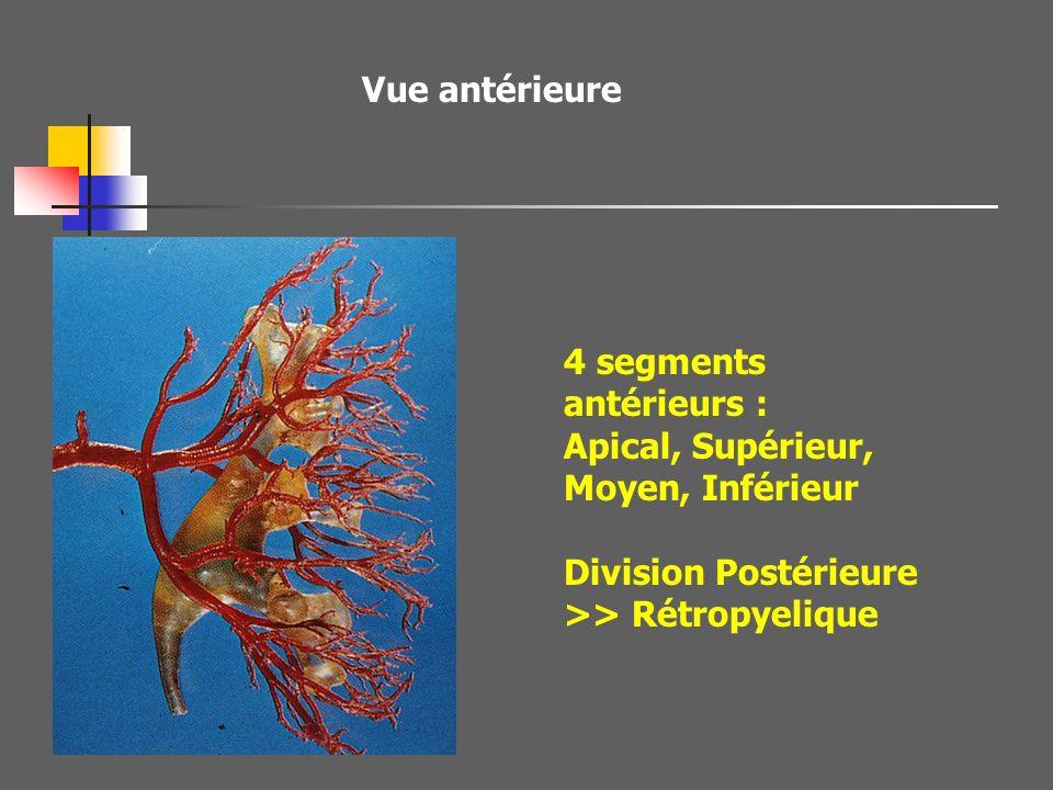 Vue antérieure 4 segments antérieurs : Apical, Supérieur, Moyen, Inférieur.