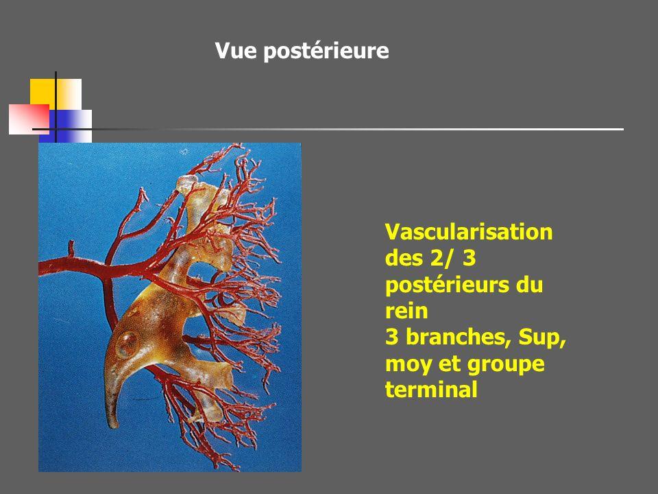 Vue postérieure Vascularisation des 2/ 3 postérieurs du rein.