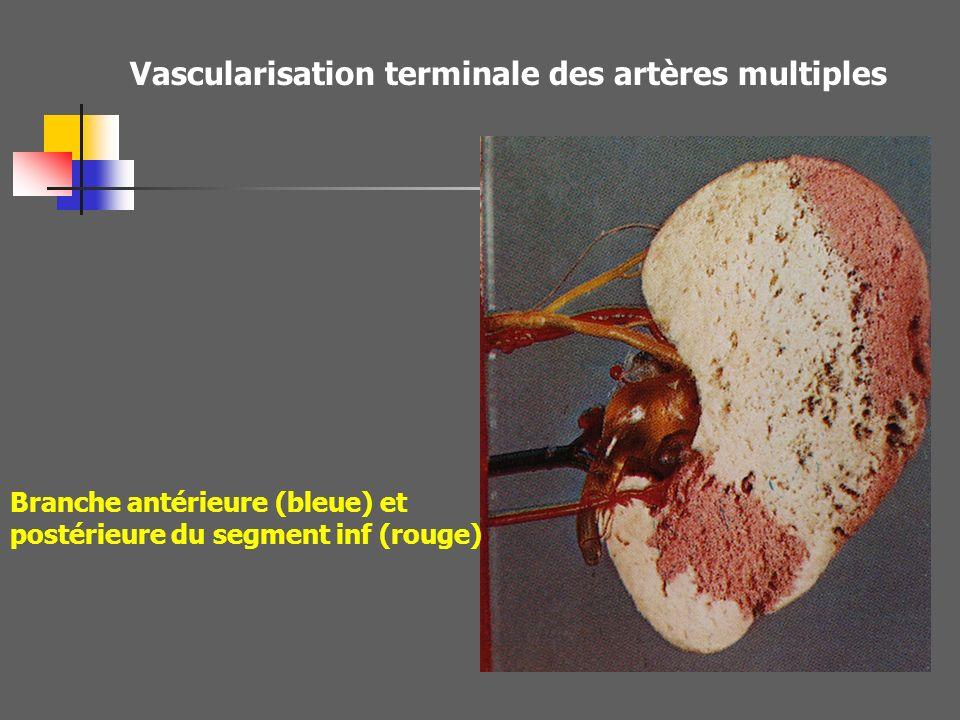 Vascularisation terminale des artères multiples