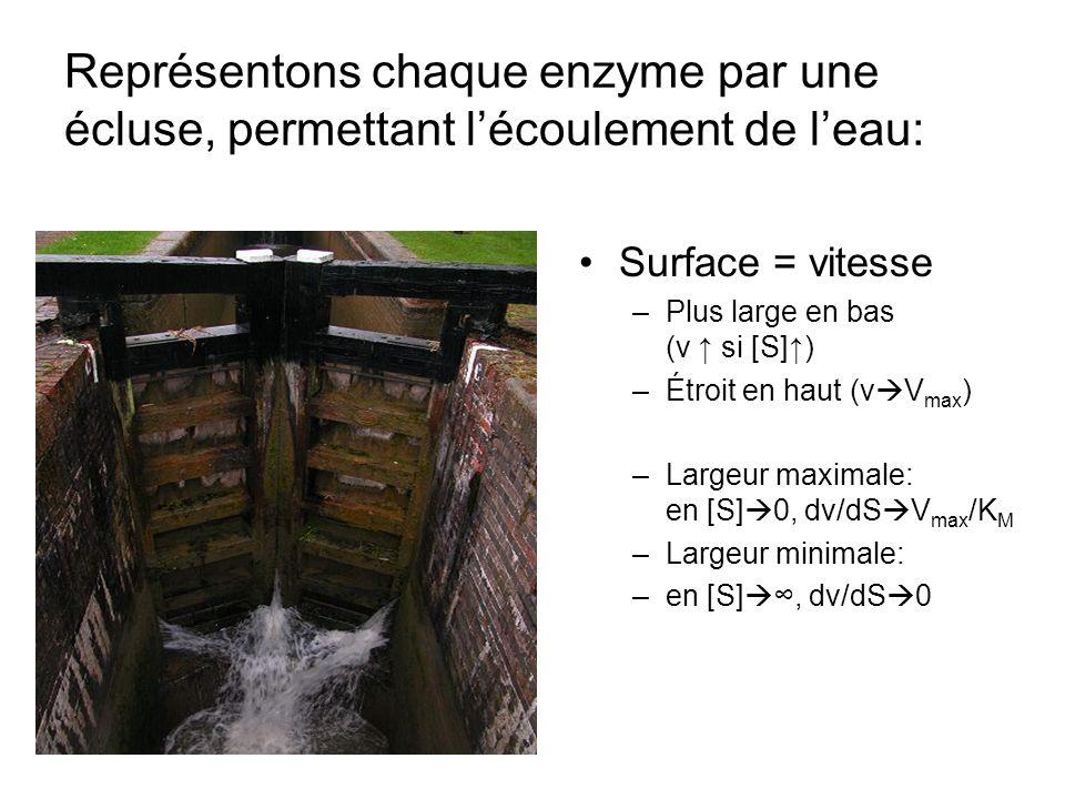 Représentons chaque enzyme par une écluse, permettant l'écoulement de l'eau: