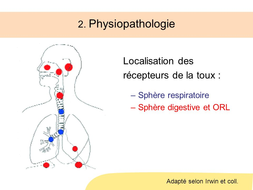 2. Physiopathologie Localisation des récepteurs de la toux :