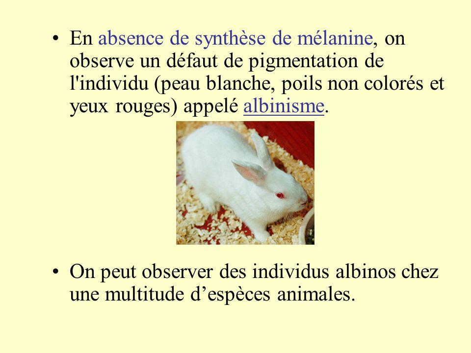 En absence de synthèse de mélanine, on observe un défaut de pigmentation de l individu (peau blanche, poils non colorés et yeux rouges) appelé albinisme.
