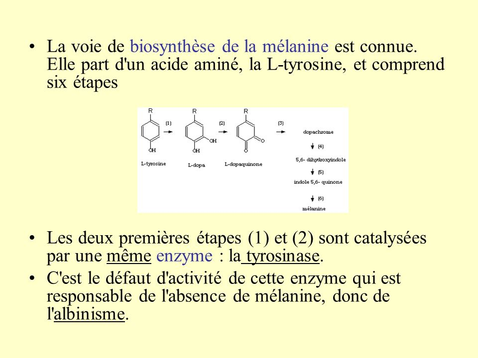 La voie de biosynthèse de la mélanine est connue