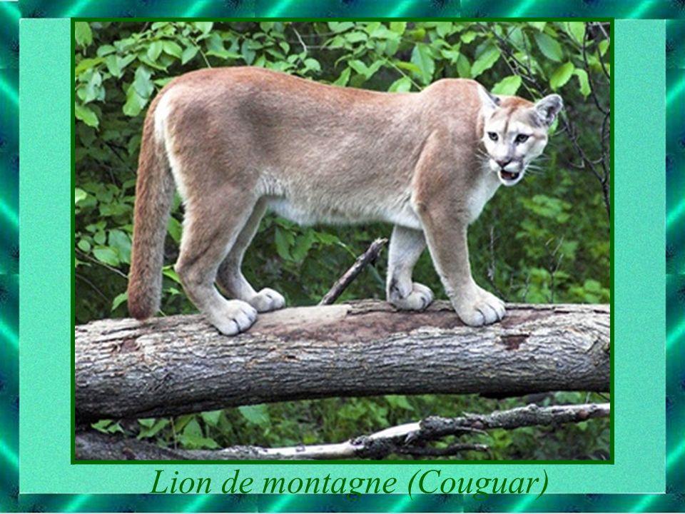 Lion de montagne (Couguar)
