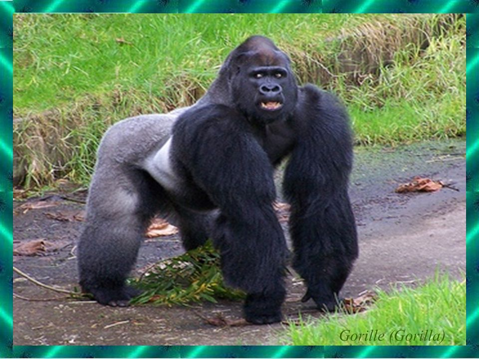 Gorille (Gorilla)