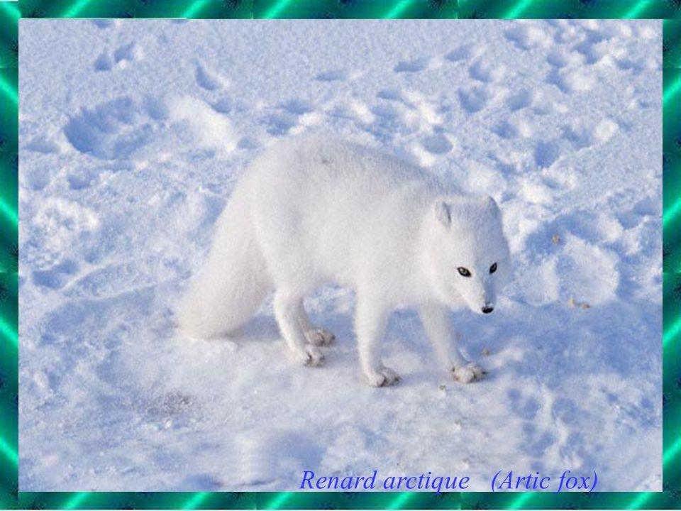 Renard arctique (Artic fox)