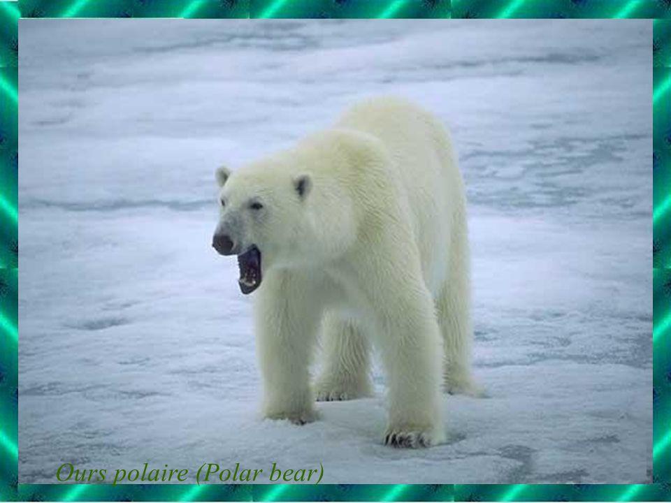 Ours polaire (Polar bear)