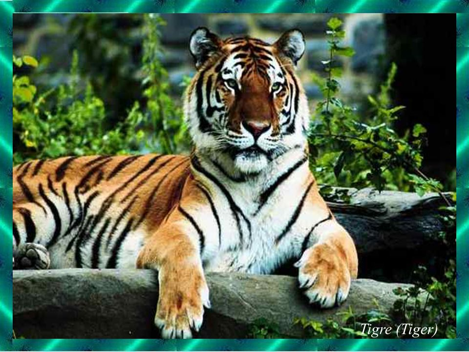 Tigre (Tiger)