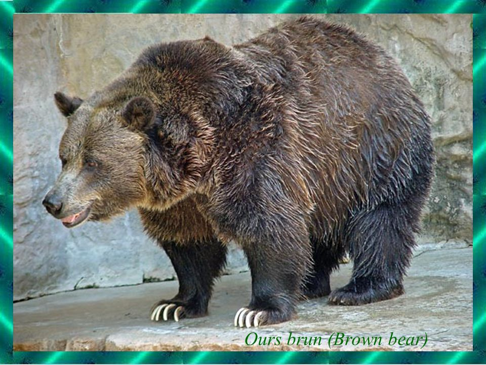 Ours brun (Brown bear)