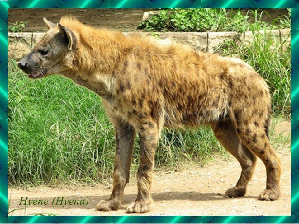 Hyène (Hyena)