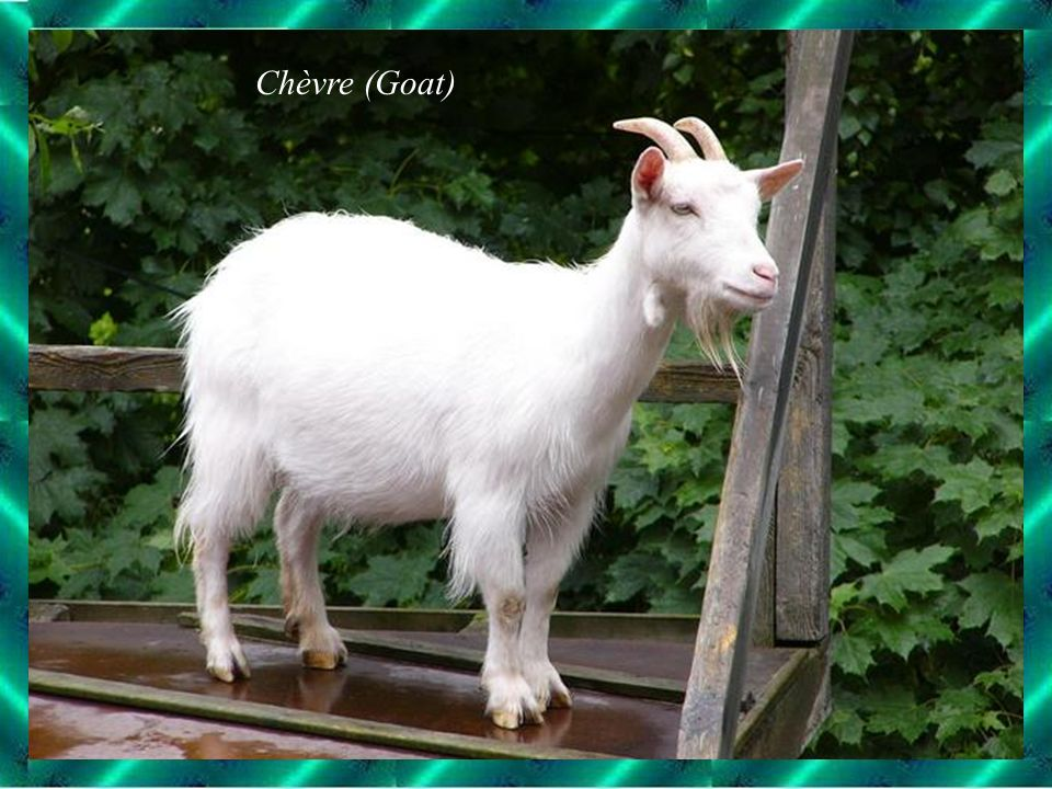 Chèvre (Goat)