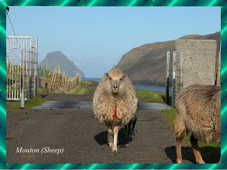 Mouton (Sheep)