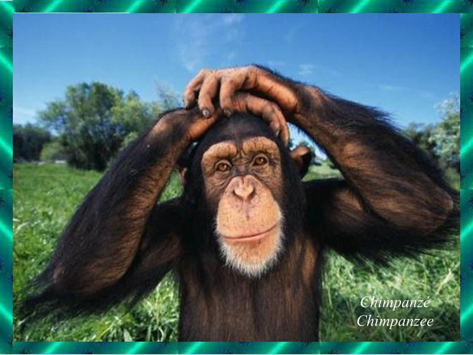 Chimpanzé Chimpanzee