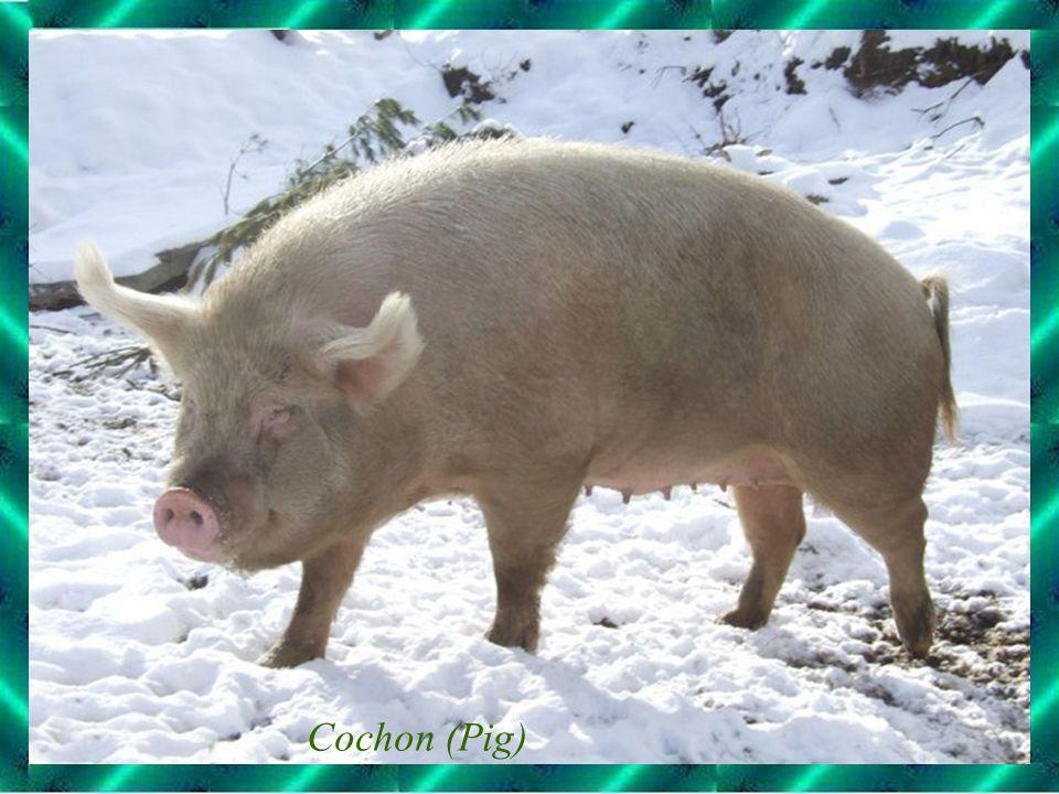 Cochon (Pig)