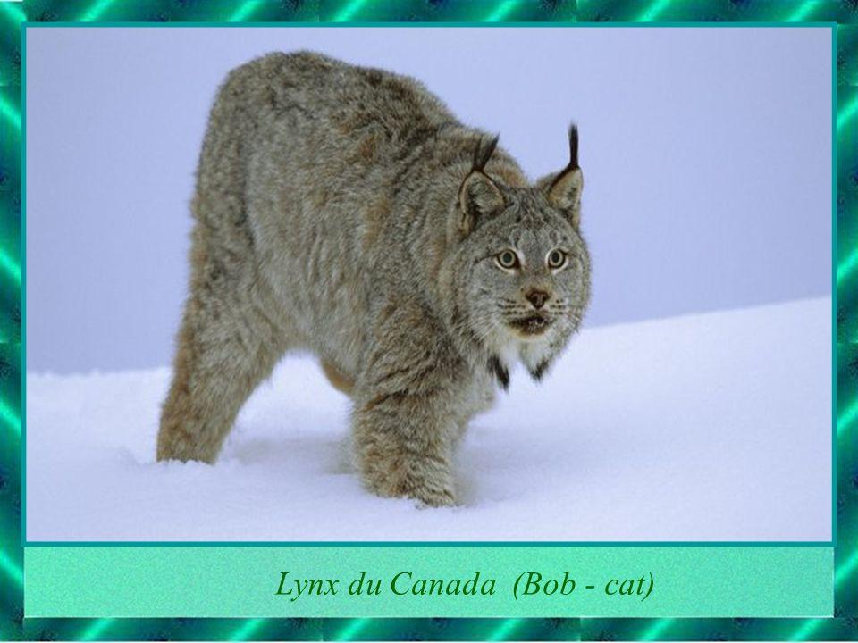 Lynx du Canada (Bob - cat)