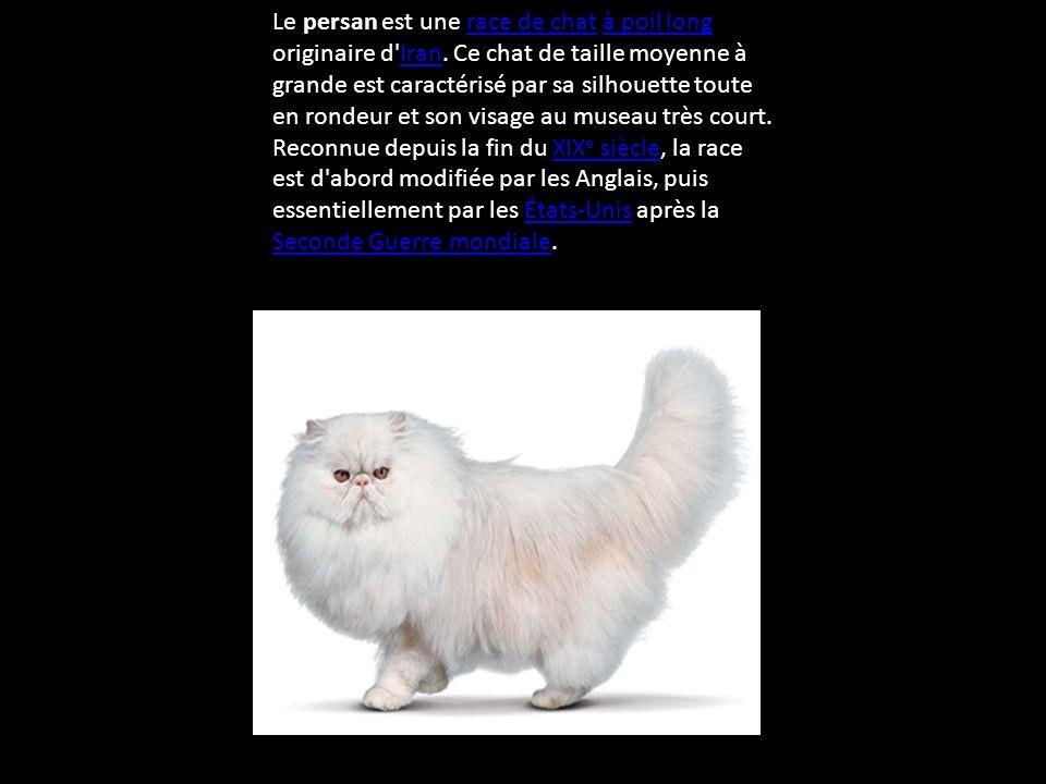 Le persan est une race de chat à poil long originaire d Iran