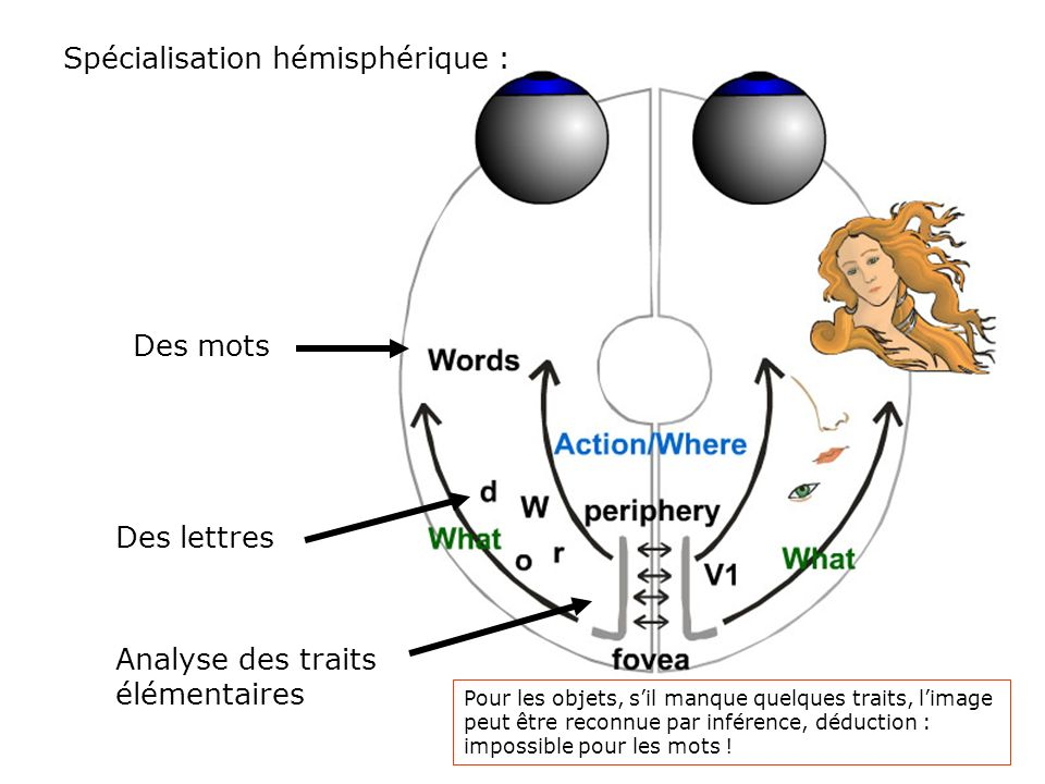 Spécialisation hémisphérique :