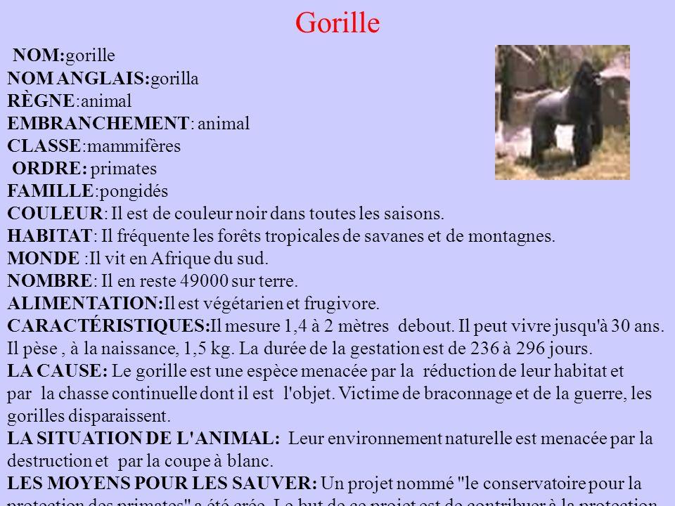 Gorille NOM:gorille NOM ANGLAIS:gorilla RÈGNE:animal