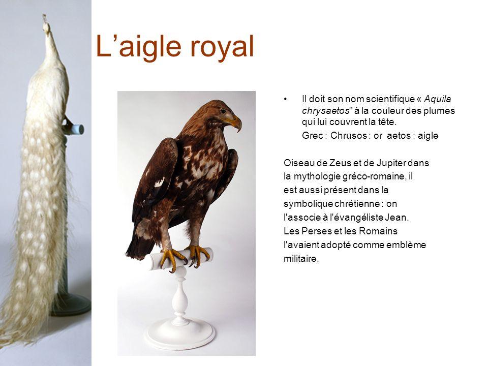 L'aigle royal Il doit son nom scientifique « Aquila chrysaetos à la couleur des plumes qui lui couvrent la tête.