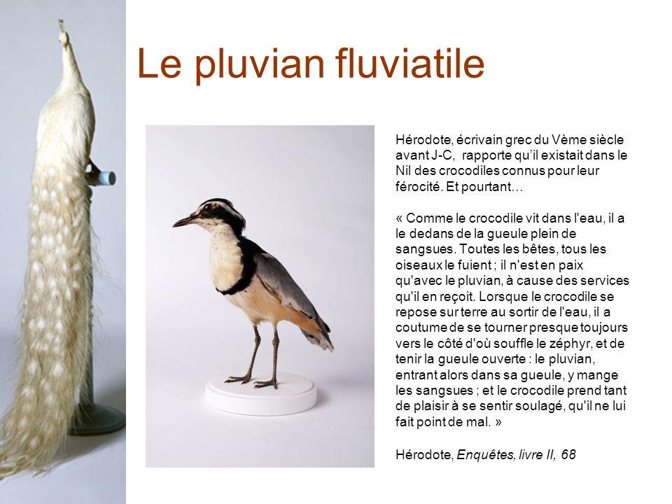 Le pluvian fluviatile Hérodote, écrivain grec du Vème siècle