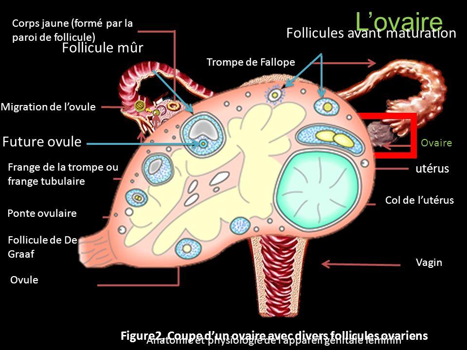 L'ovaire Follicules avant maturation Follicule mûr Future ovule utérus