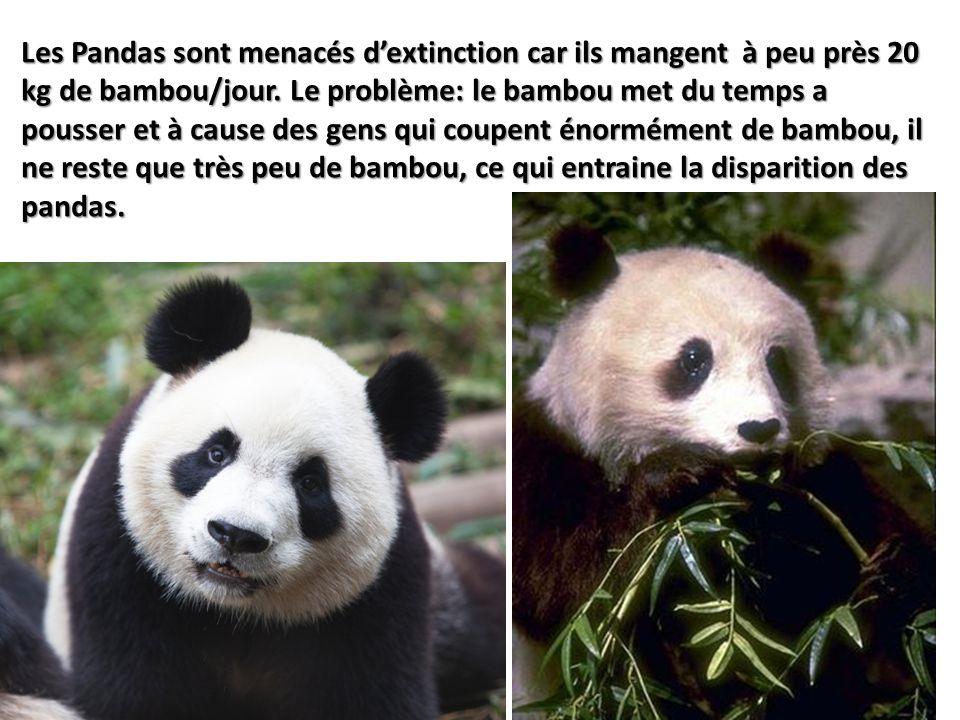 Les Pandas sont menacés d'extinction car ils mangent à peu près 20 kg de bambou/jour.